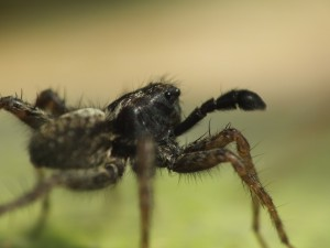 Close-up of a Wolf Spider