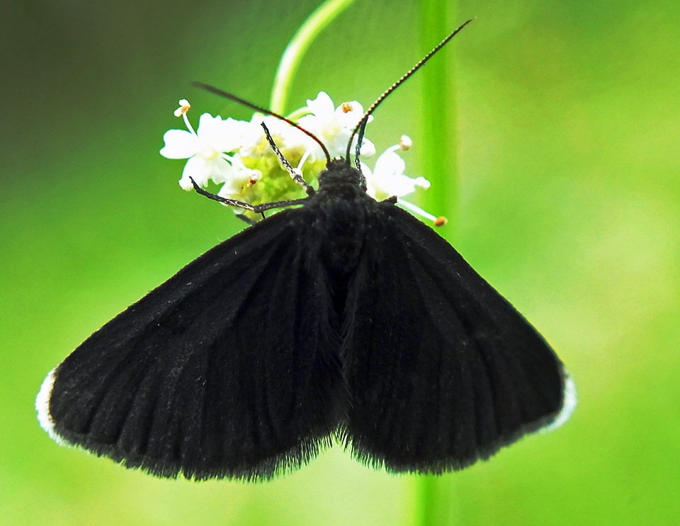 Chimney Sweeper Moth (Odezia atrata)